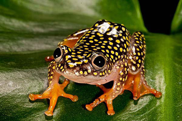 Starry Night Reed Frog by David Northcott