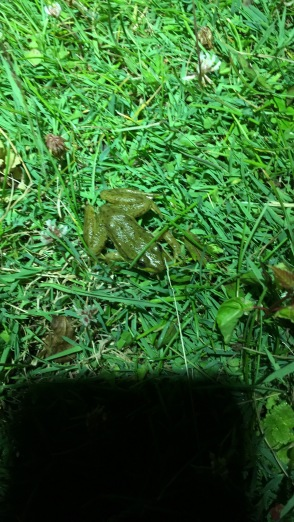 This Is A Small Green Frog Lithobates Clamitans