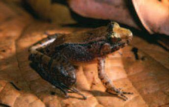 Limnonectes_palavanensis