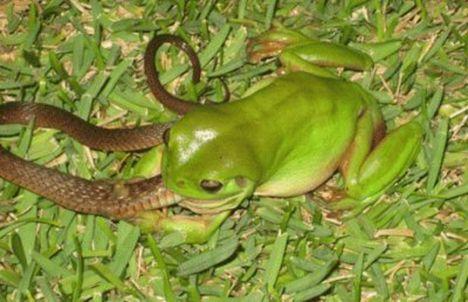 frog-eats-snake