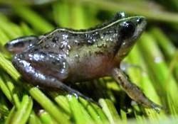 Cape Flats frog by Abu Shawka