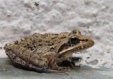 Clicking Stream Frog by JonRichfield