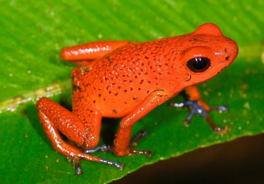 Strawberry Poison Dart Frog by Marshal Hedin