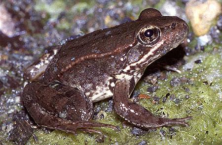 red_legged_frog