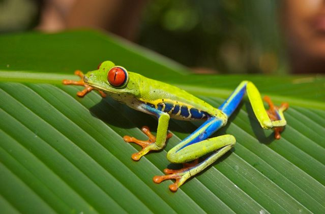 1280px-Red_eyed_tree_frog