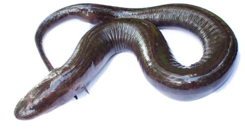 Amphiuma_(two-toed)