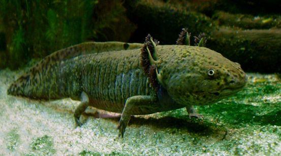 Axolotl_ganz