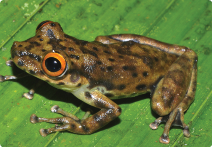 A new tree frog from Brazil, with unusual bright orange eyes