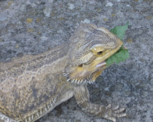 BeardedDragonEatting