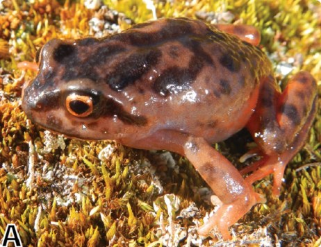 New Species of Frog from Peruvian High Andes