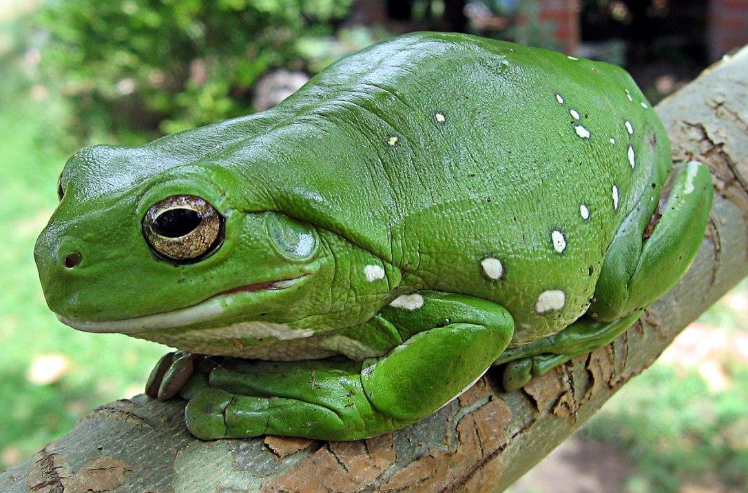 1280px-Australia_green_tree_frog_(Litoria_caerulea)_crop.jpg