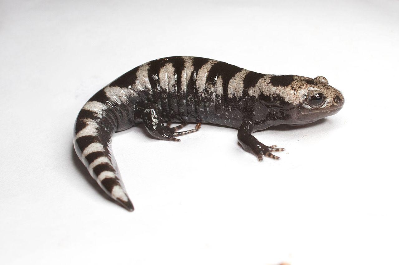 Ambystomatidae Mole Salamanders