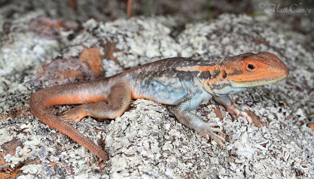 Tawny_Dragon_(Ctenophorus_decresii)_(9388501921).jpg