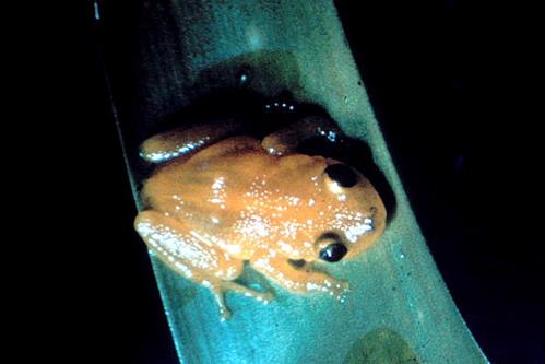 Eleutherodactylus_jasperi