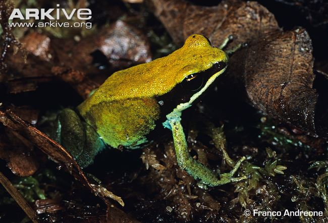Green-mantella.jpg