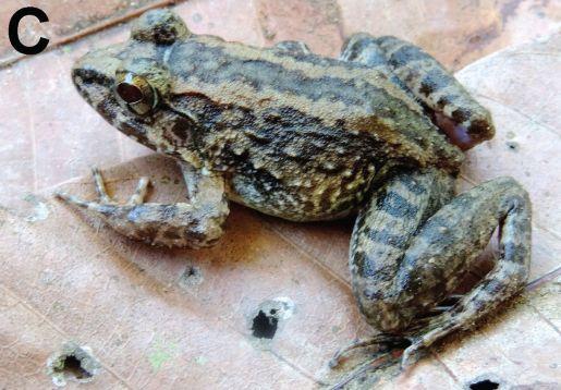 Limnonectes_larvaepartus_adult_female
