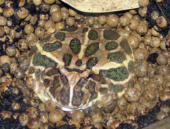1280px-Argentine.horned.frog.arp.jpg