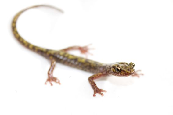 1280px-Green_salamander