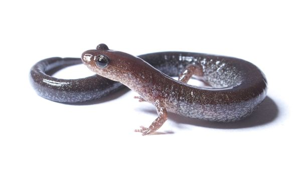 Plethodon_cinereus