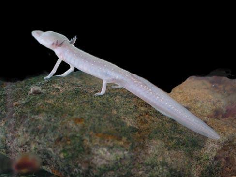 Texas_blind_salamander