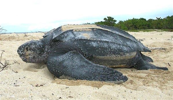 leatherback.jpg
